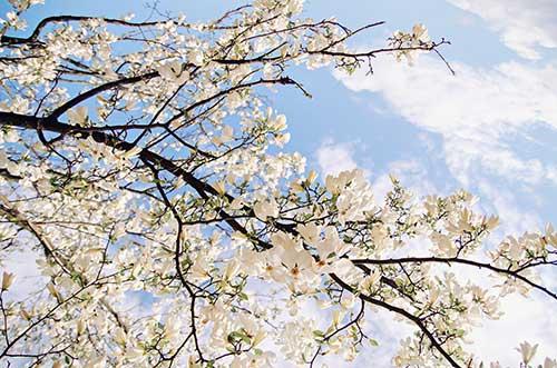 طرح آسمان مجازی درخت وشکوفه های سفید  10-As